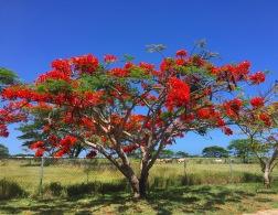 Flamboyanes florecidos en Guayama